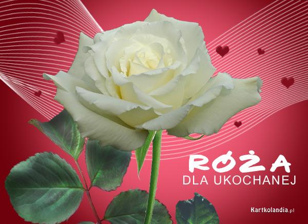 Róża dla ukochanej
