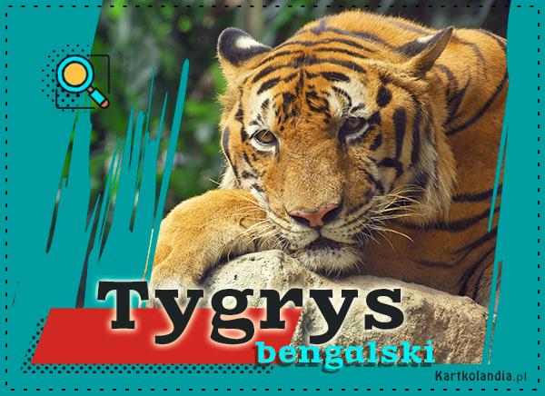 eKartki elektroniczne z tagiem: Kartki zwierzęta Tygrys bengalski,