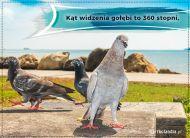 eKartki Zwierzęta Kartka - Gołąb,