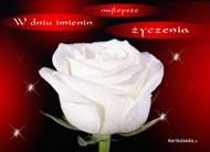 eKartki Imieninowe Śnieżnobiała róża,